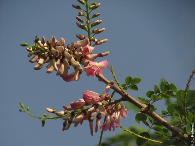 foto de flor de matarratón