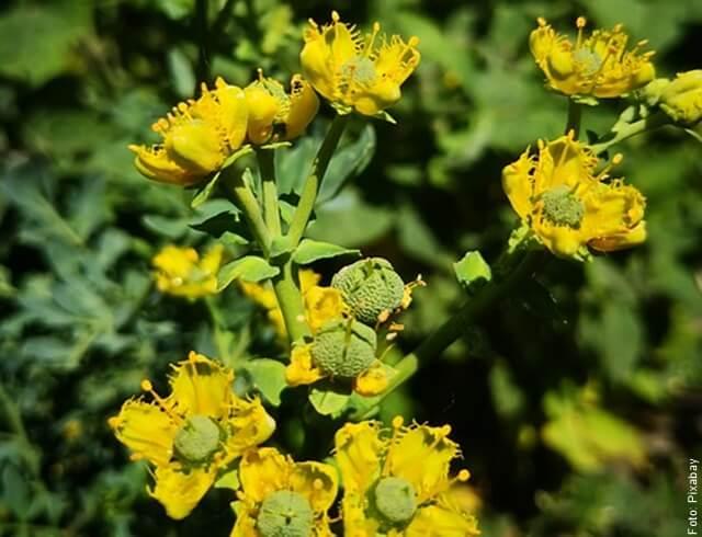 foto de planta de ruda