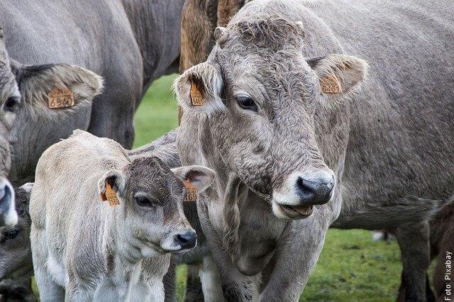 foto de vaca y ternero