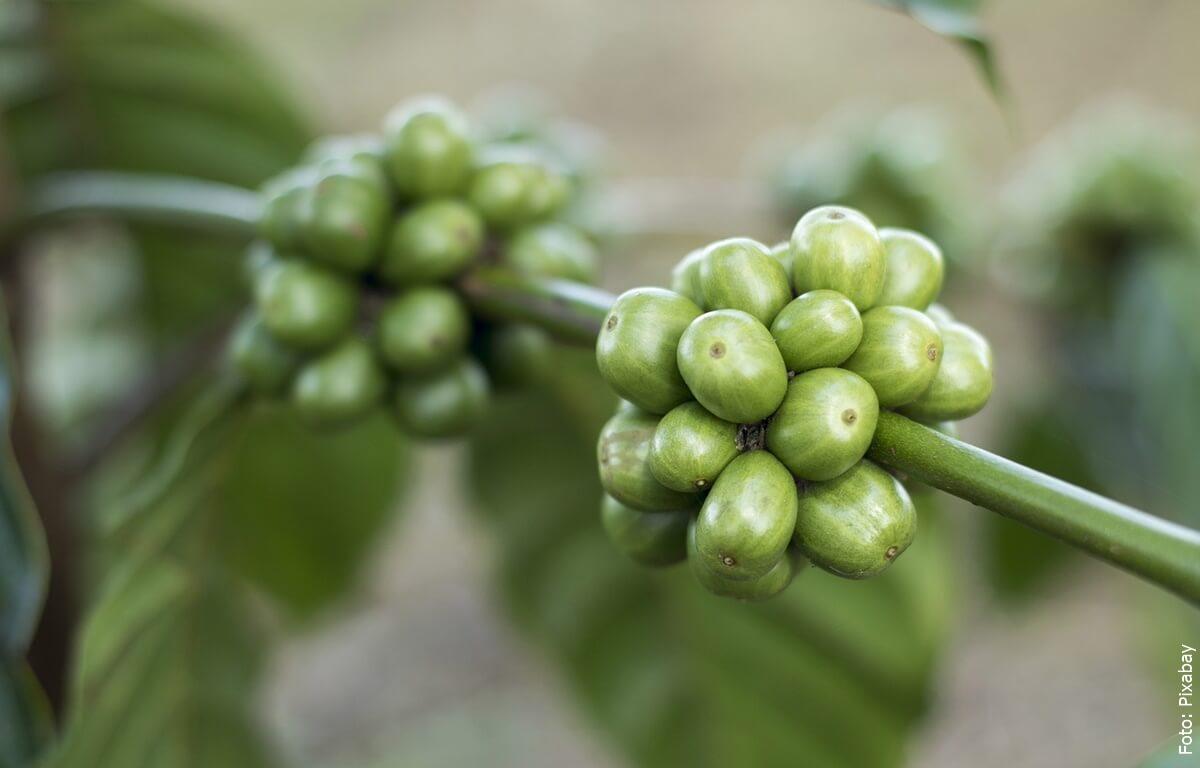 Café verde, ¿para qué sirve y cómo consumirlo?