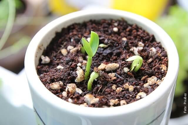 foto de semilla de espinaca