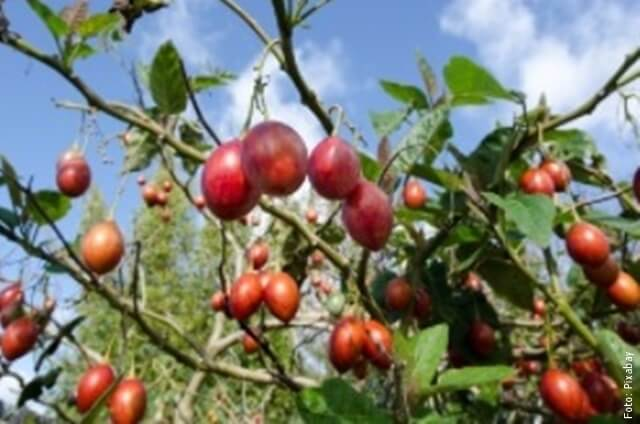 foto de tomate de árbol