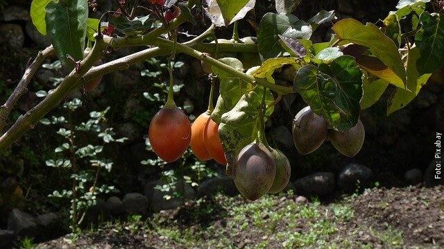 foto de plantas de tomate de árbol