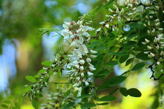 foto de acacia blanca