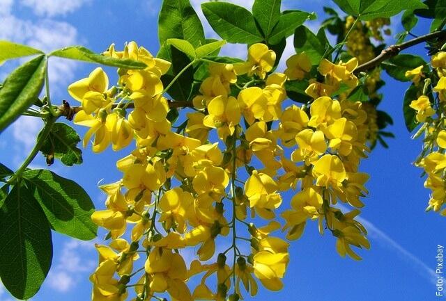 foto de acacia amarilla