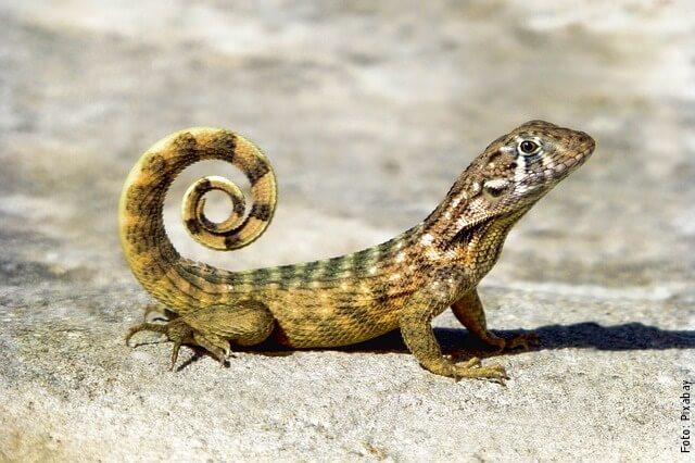 foto de lagarto pequeño