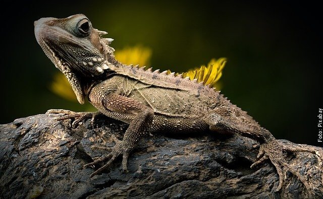 foto de lagarto