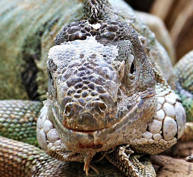foto de lagarto grande