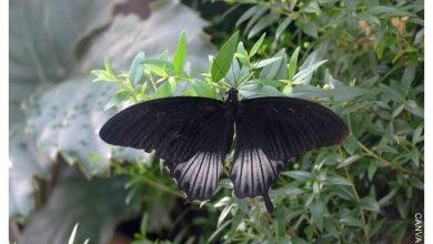 Qué significa una mariposa negra en el cuarto ¡te sorprenderás!