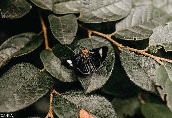 Foto de una mariposa negra sobre hojas de una planta para ilustrar qué significa una mariposa negra en el cuarto
