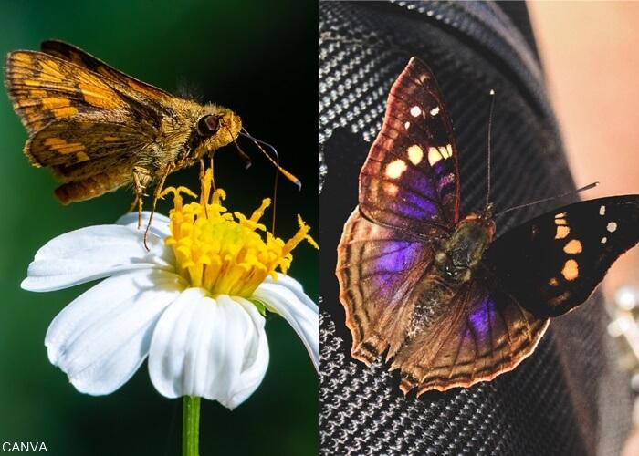 Foto de una polilla al lado de foto de una mariposa negra para ilustrar qué significa una mariposa negra en el cuarto