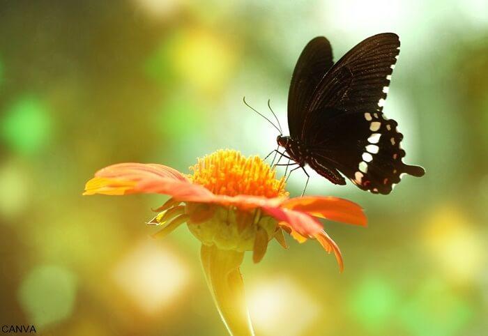 Foto de una mariposa negra sobre una flor