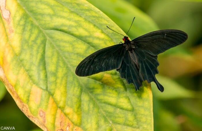 Foto de una mariposa negra sobre una hoja para ilustrar qué significa una mariposa negra en el cuarto