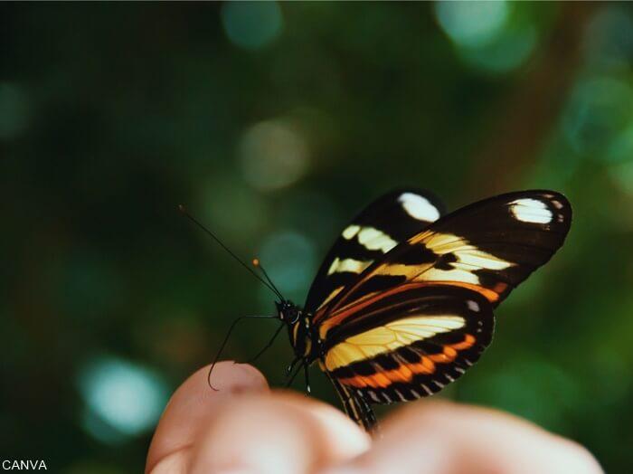Mariposa negra sobre una mano para ilñustra que-significa-una-mariposa-negra-en-el-cuarto