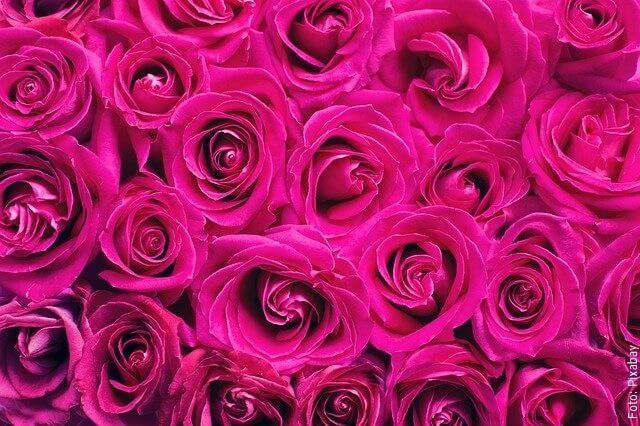 foto de rosas fucsia