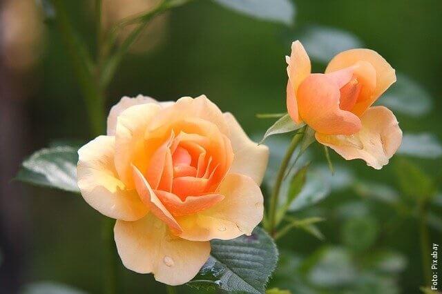 foto de rosas naranjas