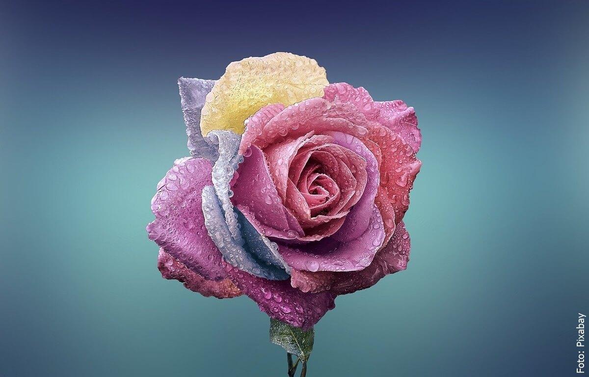 ¿Qué significan los colores de las rosas? Lee con atención