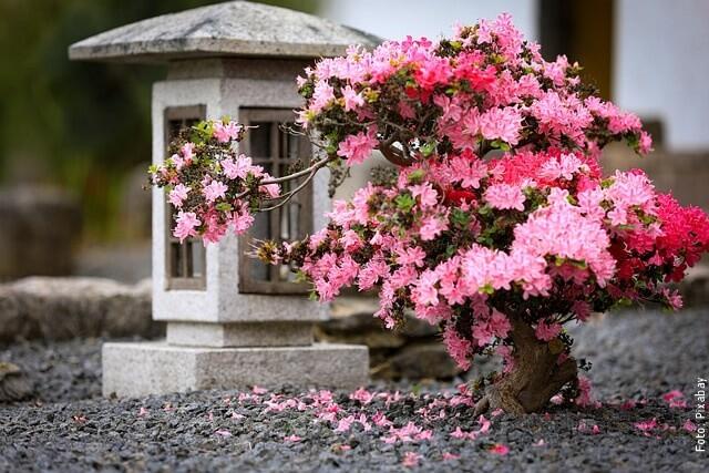 foto de bonsái
