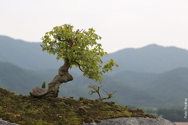 foto de un bonsái