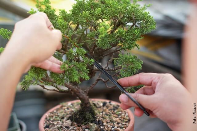 foto podando un bonsái
