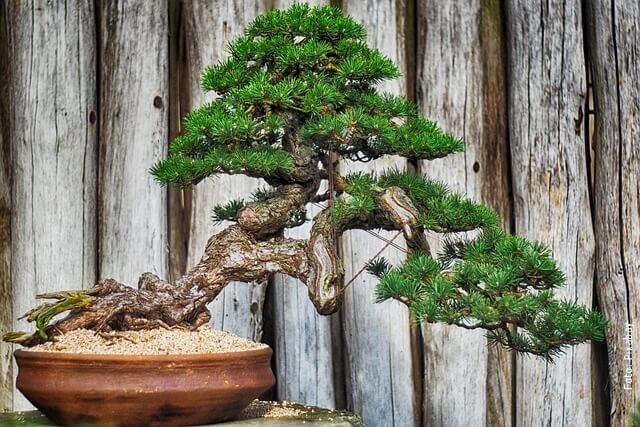 foto bonsái