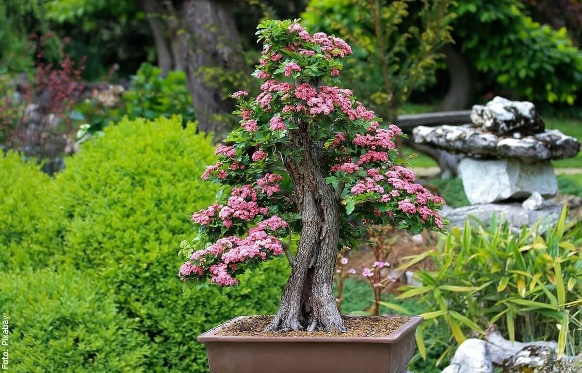 Cuidados del bonsái, ¡mantenlos siempre saludables!